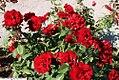 Rosa Poulander 3zz.jpg