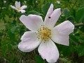 Rosa canina inflorescence (07).jpg
