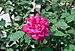 Rosa indica 09032014.jpg