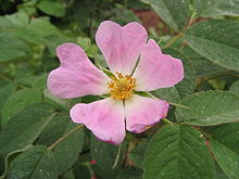 Rosa pomifera - wolley dod's apple rose - desc-open flower.jpg
