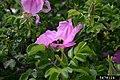 Rosa rugosa inflorescence (38).jpg