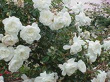 http://upload.wikimedia.org/wikipedia/commons/thumb/4/48/Rosa_sp.262.jpg/220px-Rosa_sp.262.jpg