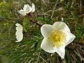Rosa spinosissima inflorescence (14).jpg