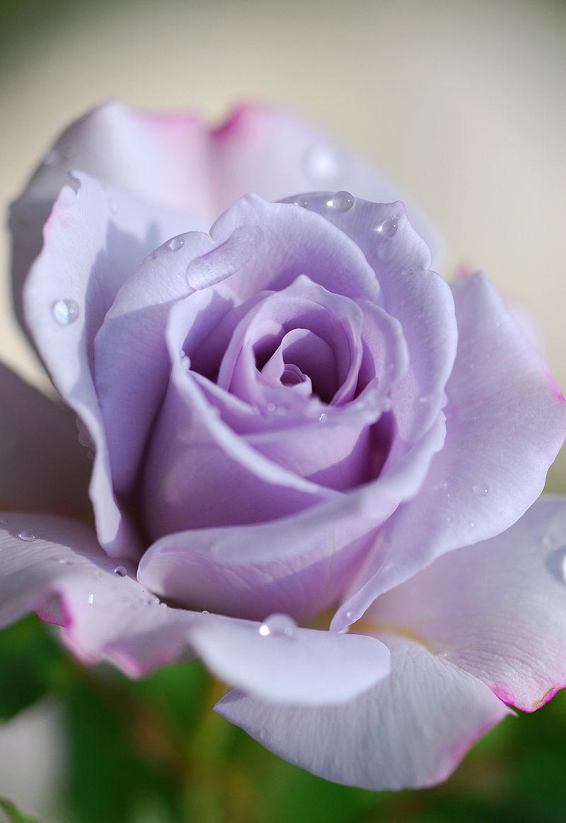 Rose in Violet.jpg