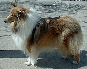 Rough Collie - Sable and white Rough Collie