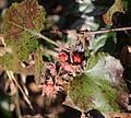 Rubus buergeri (fruits s3).jpg