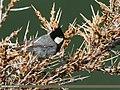 Rufous-naped Tit (Periparus rufonuchalis) (33252334253).jpg