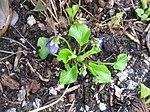 Ruhland, Grenzstr. 3, Duftveilchen im Garten, blau blühend, Frühling, 15.jpg