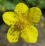 Ruhland, Grenzstr. 3, Golderdbeere im Garten, Blüte, Frühling, 01.jpg