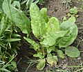 Rumex acetosa cultivar 01.jpg