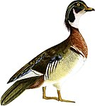 Rural Hours - Wood Duck white background.jpg