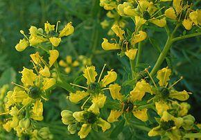 Ruta graveolens wikip dia for Plante urticante