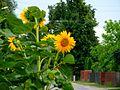 Słoneczniki - panoramio (1).jpg