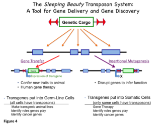 Sleeping Beauty transposon system - Figure 4: Uses for the Sleeping Beauty transposon system