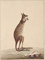 SLNSW 797165 f 25 A kangaroo.jpg