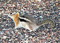 SQUIRREL, GOLDEN-MANTLED (Spermophilus lateralis) (8-20-12) just east of wolf creek pass, co -02 (7909740394).jpg