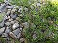 Sagina procumbens plant (11).jpg