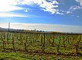Saint-Hilaire-d'Ozilhan Jeunes vignes.JPG