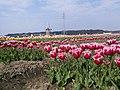 Sakura Chiba Tulip Widmill.jpg