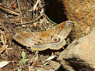 Salassa lola - The adult Salassa lola found in West Sikkim, India