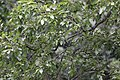 Salix rosthornii, Hangzhou Botanical Garden 2018.06.03 15-37-38.jpg