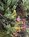 Saltera sarcocolla - Cape fellwort or vlieëbos 2.jpg