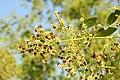 Salvadora persica by Dr. Raju Kasambe DSCN6600 (7).jpg