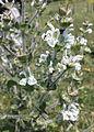 Salvia aethiopis sl3.jpg
