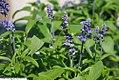 Salvia farinacea Victoria Blue 2zz.jpg