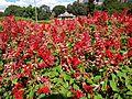 Salvia splendens (SRBG).jpg