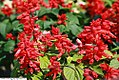 Salvia splendens Vista Red 3zz.jpg