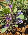 Salviasonomensis.jpg