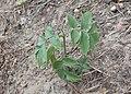 Sambucus racemosa kz01.jpg