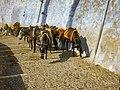 Santorin alter Hafen Esel donkey (23459500774) (2).jpg