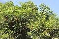 Sapindales - Citrus sinensis 2.jpg