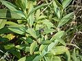 Saponaria officinalis mit Insekt.jpg