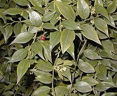 Sarcococca ruscifolia.jpg