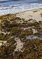 Sargasso seaweed on sandy beach.jpg