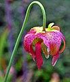 Sarracenia 'June Bug' (7238435916).jpg