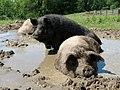 Sasha Farm Sanctuary Pigs.jpg