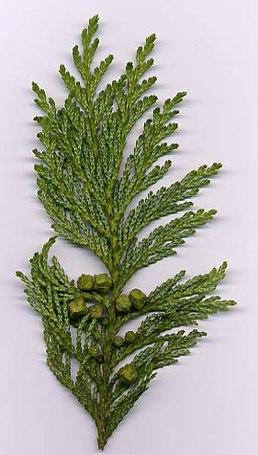 Chamaecyparis pisifera листя і шишки