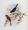 Saxicola jerdoni by Gould & Richter.jpg