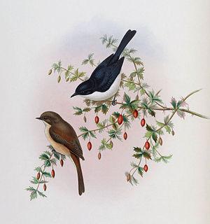 Jerdon's bush chat - Image: Saxicola jerdoni by Gould & Richter