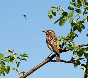 Whinchat (Saxicola rubetra), female adult; fou...