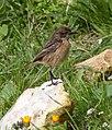 Saxicola rubicola -Malta-8.jpg