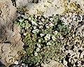 Saxifraga andersonii BotGardMunich 20170225 A.jpg