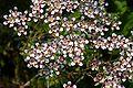 Saxifraga cotyledon Southside Seedling.jpg