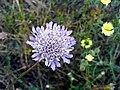 Scabiosa atropurpurea Flower Closeup DehesaBoyalPuertollano.jpg