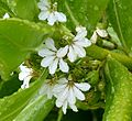 Scaevola taccada or Veloutier Vert . - Flickr - gailhampshire.jpg