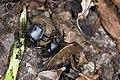 Scarabaeidae (28574743151).jpg